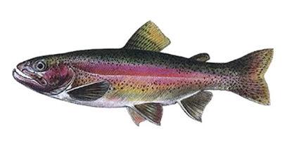 Obrázek Pstruh lososovitý